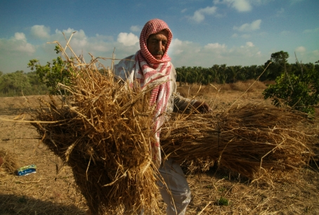 Last time Gaza was sprayed, 263 dunams of spinach, parsley, peas and wheat were harmed. Photo by Iman Mohamed.
