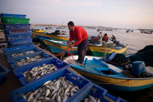 Palestinian fishermen loading fish into crates to sell it in the market at Gaza sea port